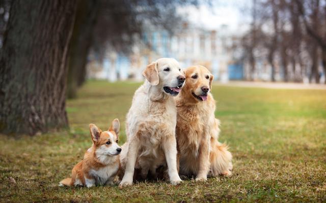 Orange Dogs in Grass